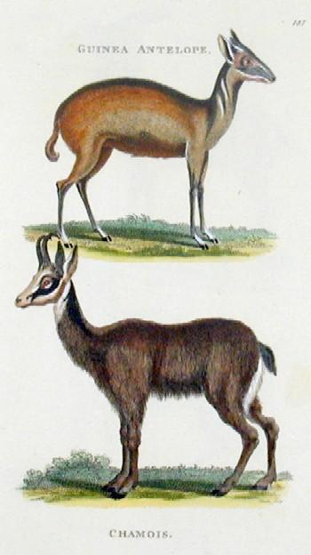 Kearsley G. Guinea antelope, Chamois antelope