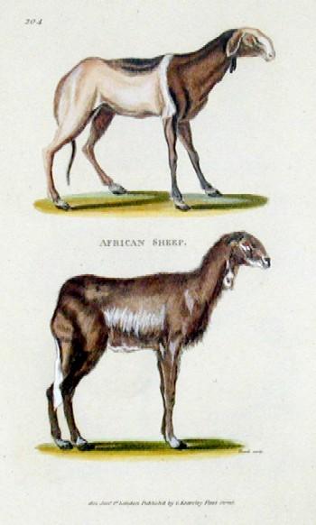 Kearsley  African Sheep