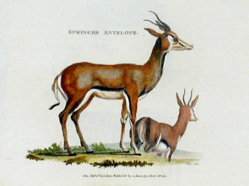Kearsley G. Springer antelope