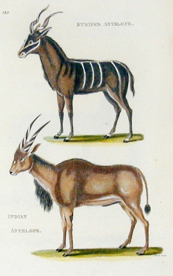 Kearsley G. Striped antelope, Indian antelope