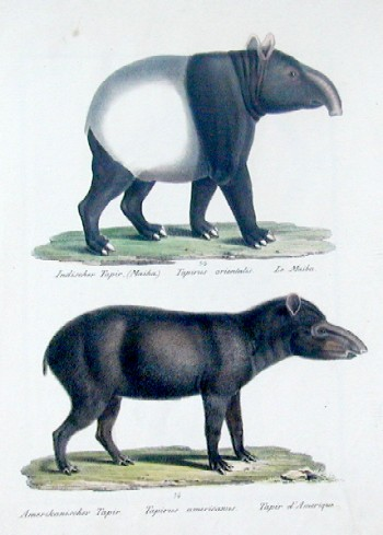 Brodtmann Karl Joseph Indischer Tapir, Amerikanischer Tapir