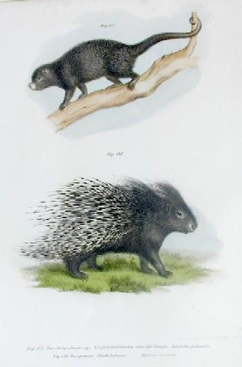 Brodtmann Karl Joseph Das langschwänzige Greifstachelschwein… , Das gemeine Stachelschwein