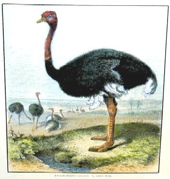 Beckmann  Strauss ( struthio camelus )