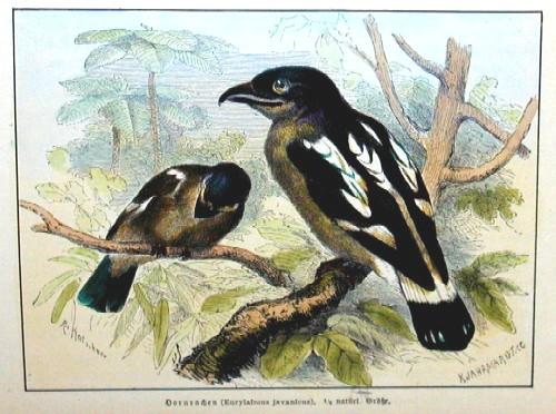 Kretschmer R. Hornrachen ( Eurylaimus javanicus)