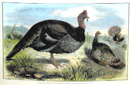 Wood J.W. Honduras Turkeys, in the gardens of the zoological society, Regent´s Park