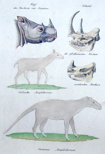 Brodtmann Karl Joseph Kopf des Nashorn von Sumatra/ Schedel des afrikanischen Nshorn/ des asiatischen Nashorn