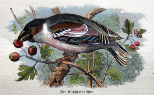 Anonymus  Der Kirschkernbeißer ( Fringilla Coccothraustes )
