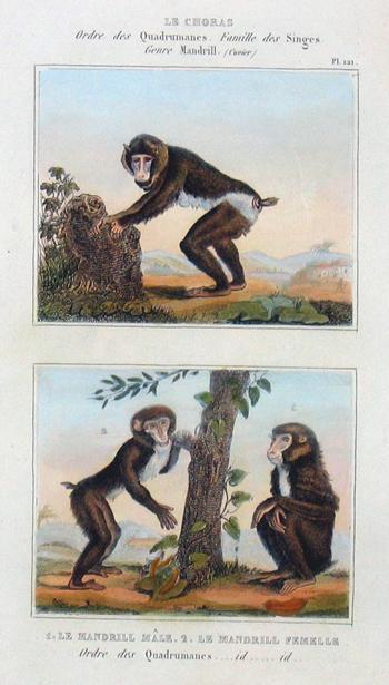 Anonymus  Le Choras, Mandrill male/ Mandrill femelle
