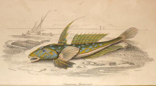 Lizars  Gemmous Dragonet