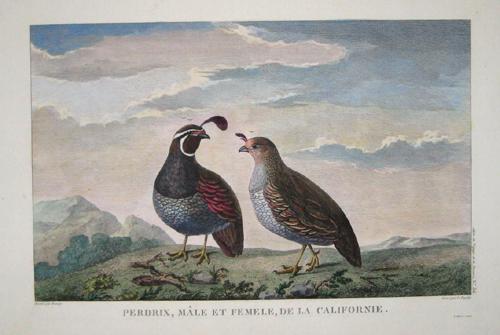 Pérouse, la Jean Francois Perdrix, Mâle et Femele, de la Californie