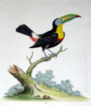 Edward G. The yellow breast Toucan drawn in its natural colors from the living bird…..