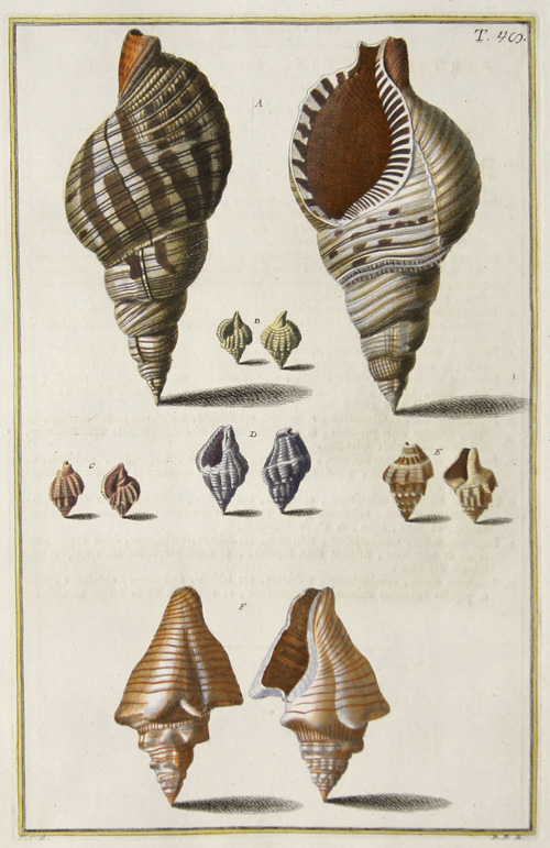 Gualtieri Niccolo partis Teritiae Classis Secundae Sectionis Secundae. Buccinum Maius, Canaliculatum Rostratum ore Labioso Fimbriatum