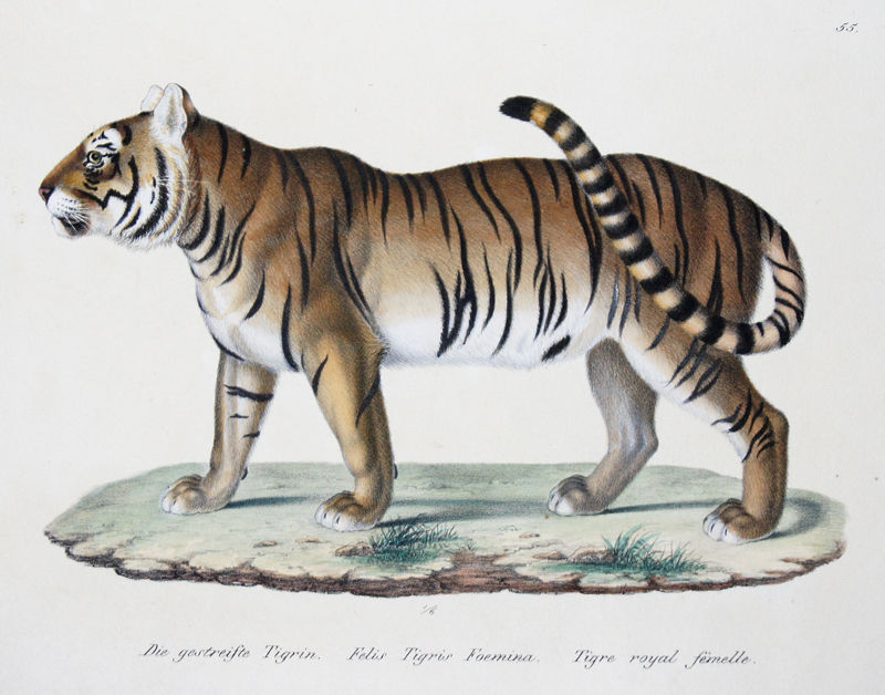 Brodtmann Karl Joseph Die gestreifte Tigrin. Felis Tigris Foemina. Tigre royal femelle.
