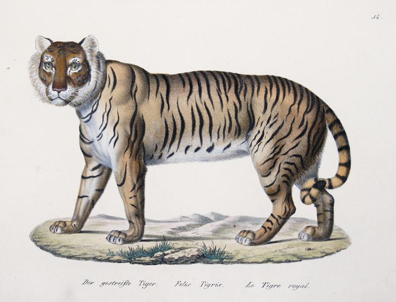 Brodtmann Karl Joseph Der gestreifte Tiger. Felis Tigris. Le Tigre royal.