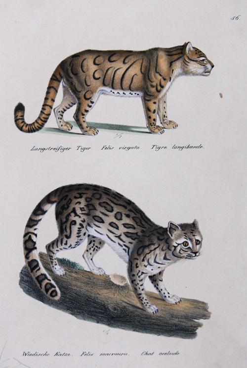Brodtmann Karl Joseph Langstreifiger Tiger. Felis virgata. Tigre longibande. / Widische Katze. Felis macroura. Chat oceloide.