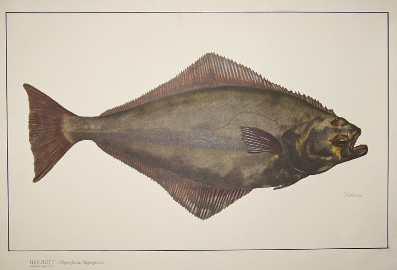 Hilden M. Heilbutt, Hippoglossus hippoglossus, natürliche Länge 1 – 2 m
