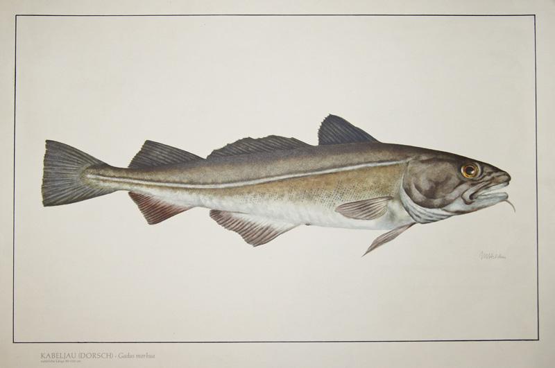 Hilden M. Kabeljau (Dorsch). Gadus morhua, natürliche Länge 80-120 cm