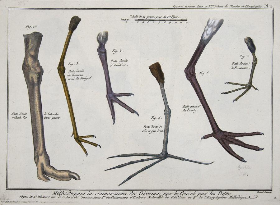 Berard de Ev. Méthode pour la connoisance des Oiseaux par le Bec et par les Pattes…/ Figures insérés dans le VII Volume des Planches de l´Encyclopédie